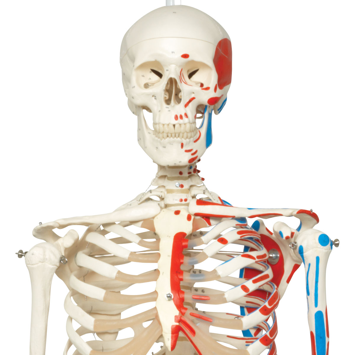 Human Skeleton Model Max Human Anatomical Skeleton