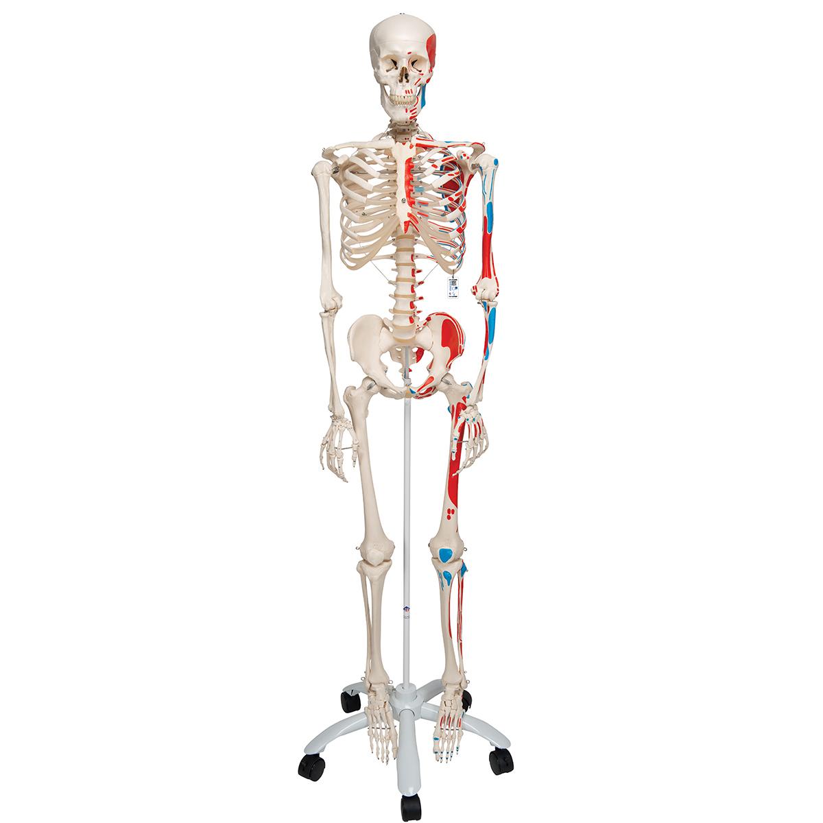 human skeleton model max | human anatomical skeleton painted, Skeleton