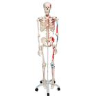 Skeleton Model with Painted Muscle Origins and Inserts - Max, 1020173 [A11], Skeleton Models - Life size