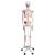 Human Skeleton Model Max with Painted Muscle Origins & Inserts - 3B Smart Anatomy, 1020173 [A11], Skeleton Models - Life size (Small)