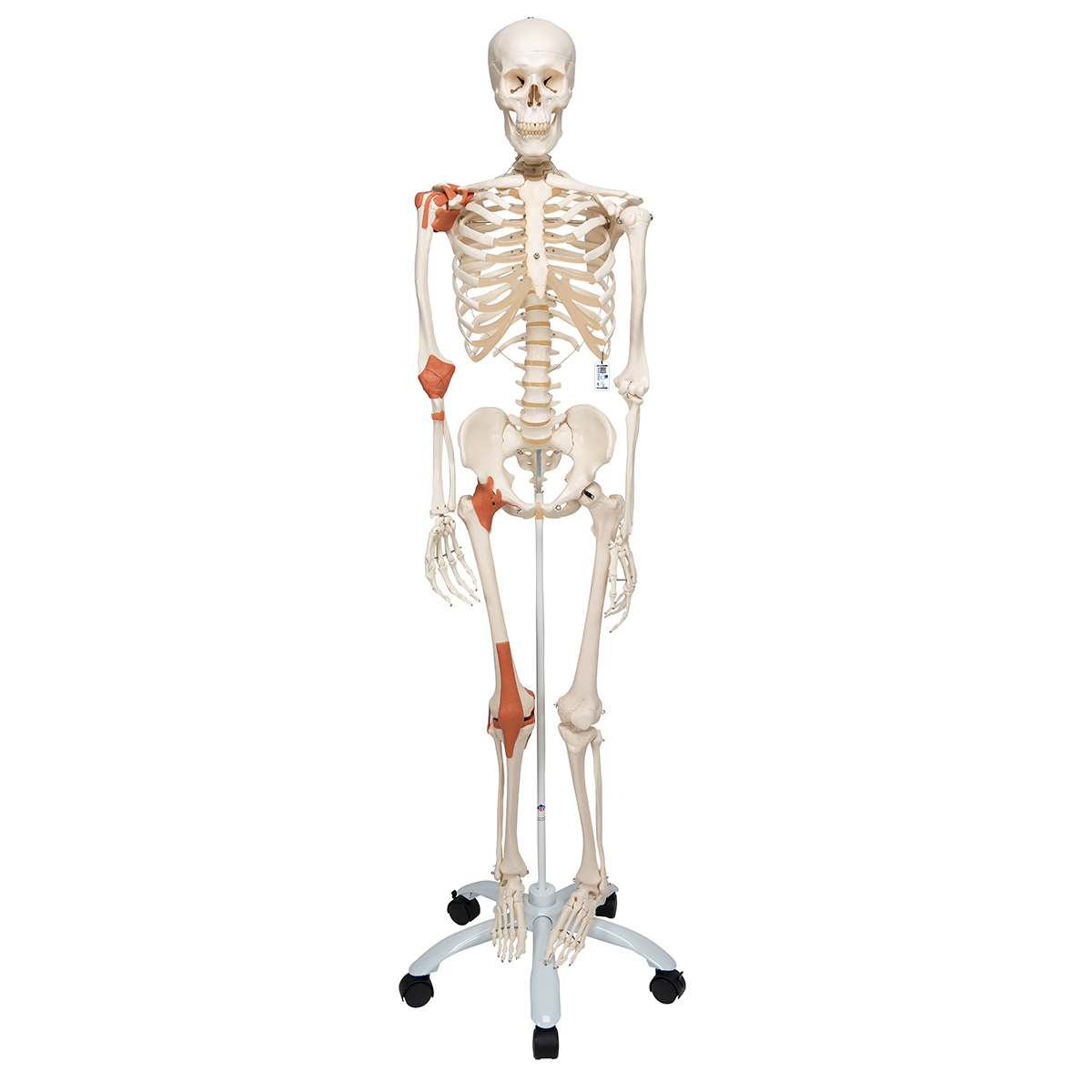 Human Skeleton Model Skeleton For Anatomy Plastic Skeleton Model