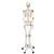 Human Skeleton Model Leo with Ligaments - 3B Smart Anatomy, 1020175 [A12], Skeleton Models - Life size (Small)