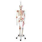 Human Skeleton Model Sam on Hanging Stand with Muscle & Ligaments - 3B Smart Anatomy, 1020177 [A13/1], Skeleton Models - Life size