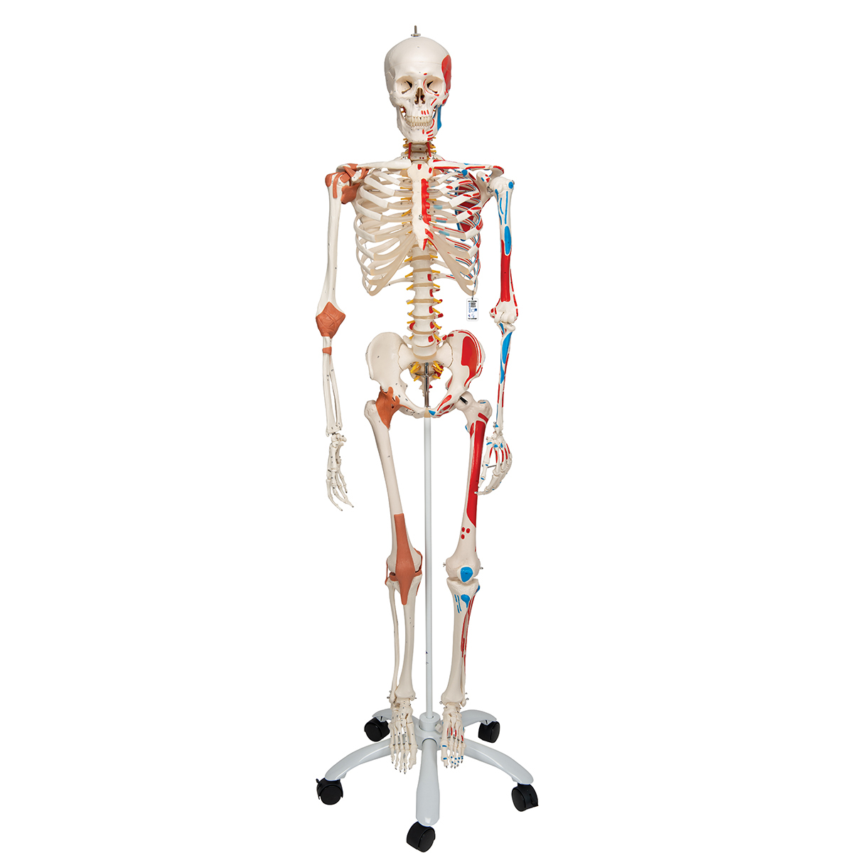 Sam Anatomical Skeleton Human Skeleton Model Sam Human