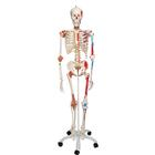 Super Skeleton Model - Sam, 1020176 [A13], Skeleton Models - Life size