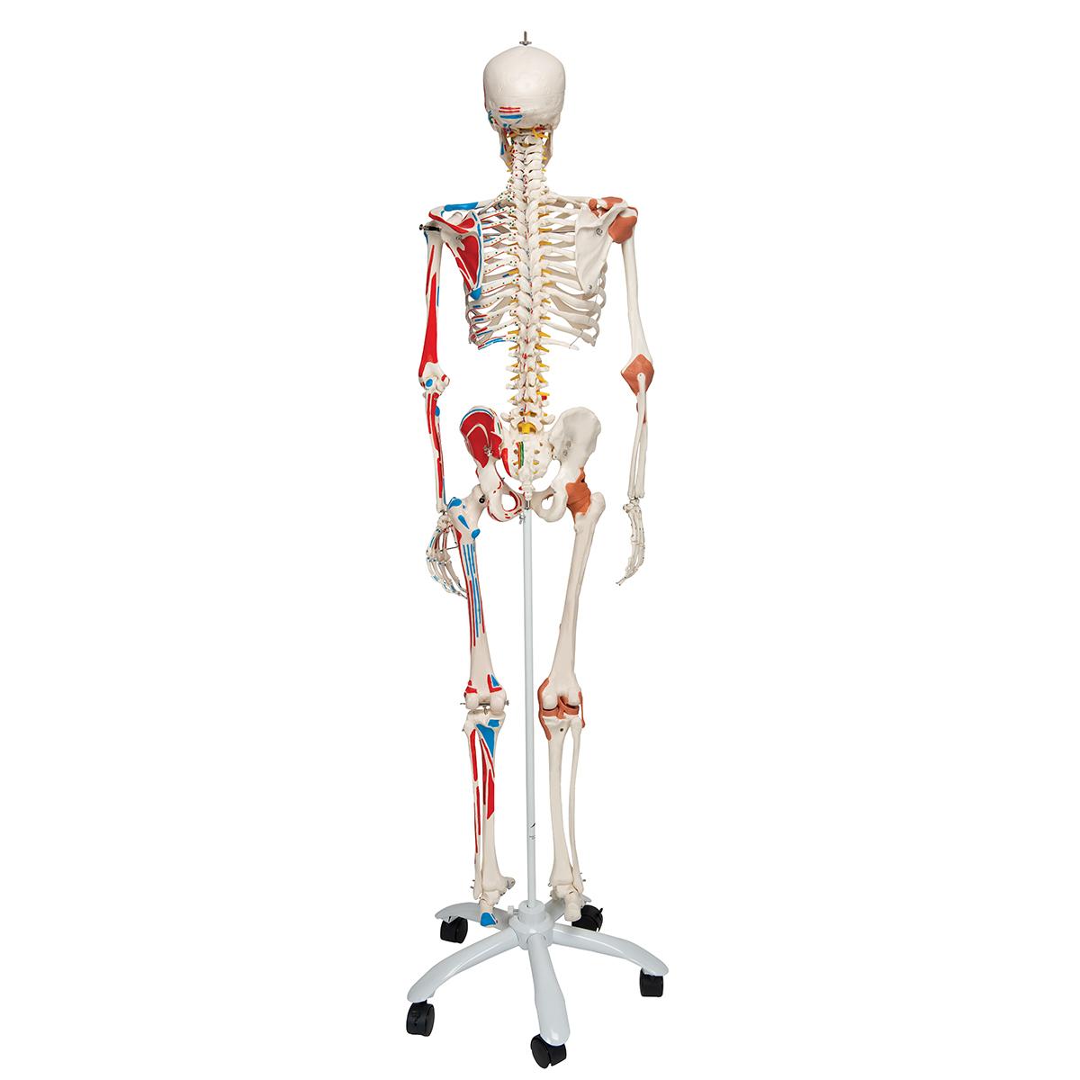 Sam Anatomical Skeleton | Human Skeleton Model Sam | Human ...