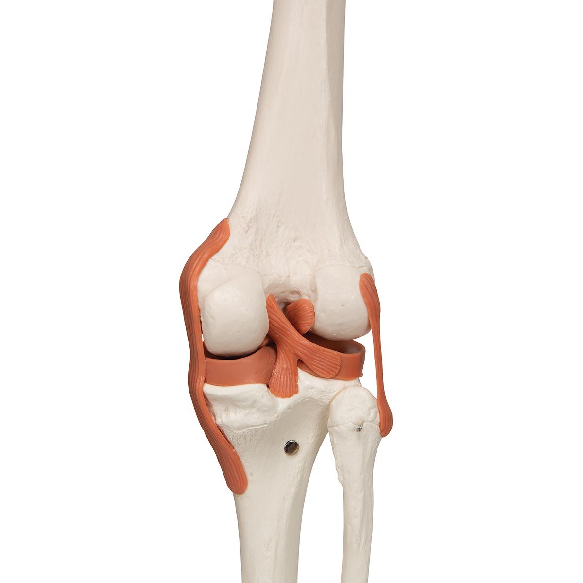 Sam Anatomical Skeleton   Human Skeleton Model Sam   Human ...