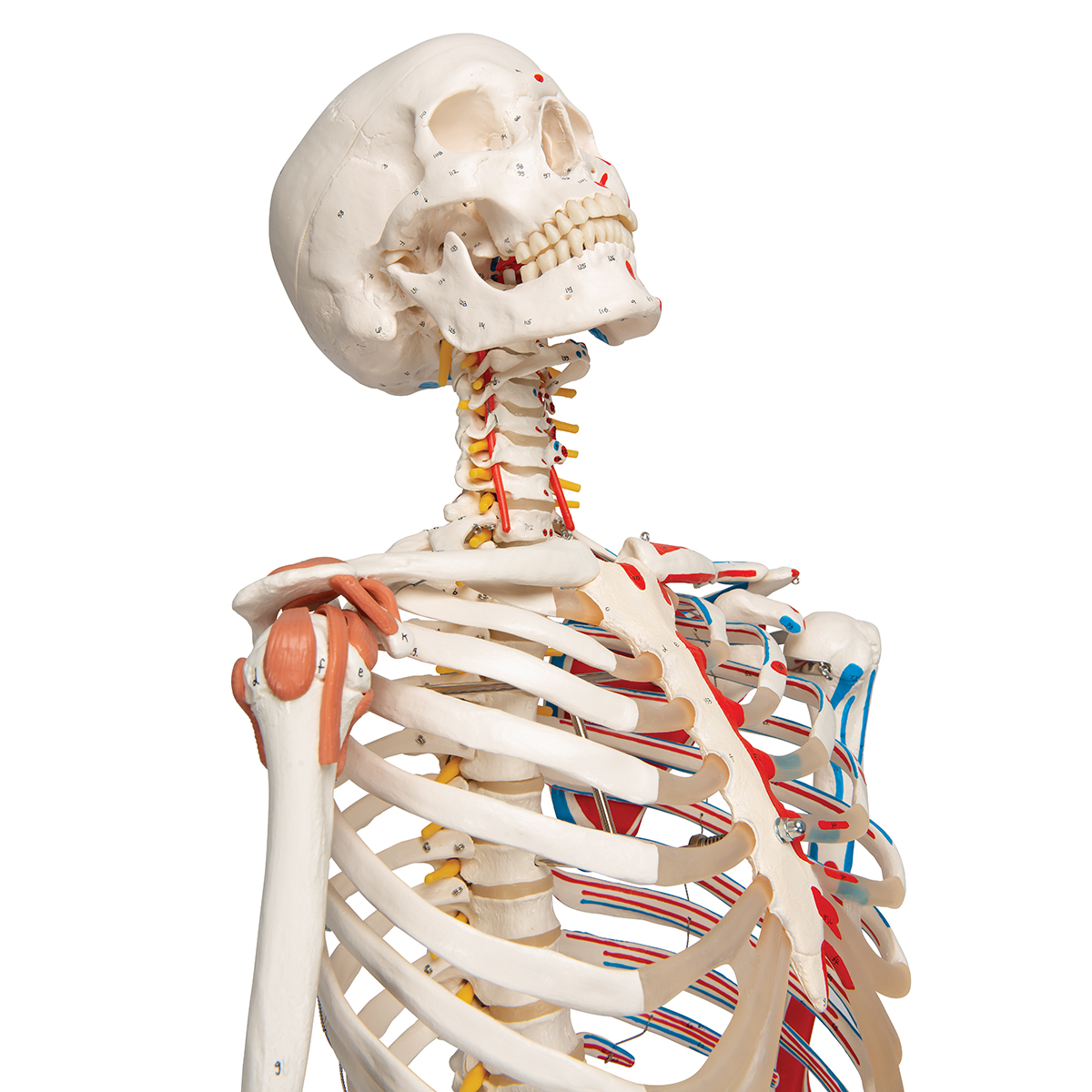 Human Skeleton Model Labeled Skeleton model with muscles