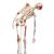 Human Skeleton Model Sam with Muscles & Ligaments - 3B Smart Anatomy, 1020176 [A13], Skeleton Models - Life size (Small)
