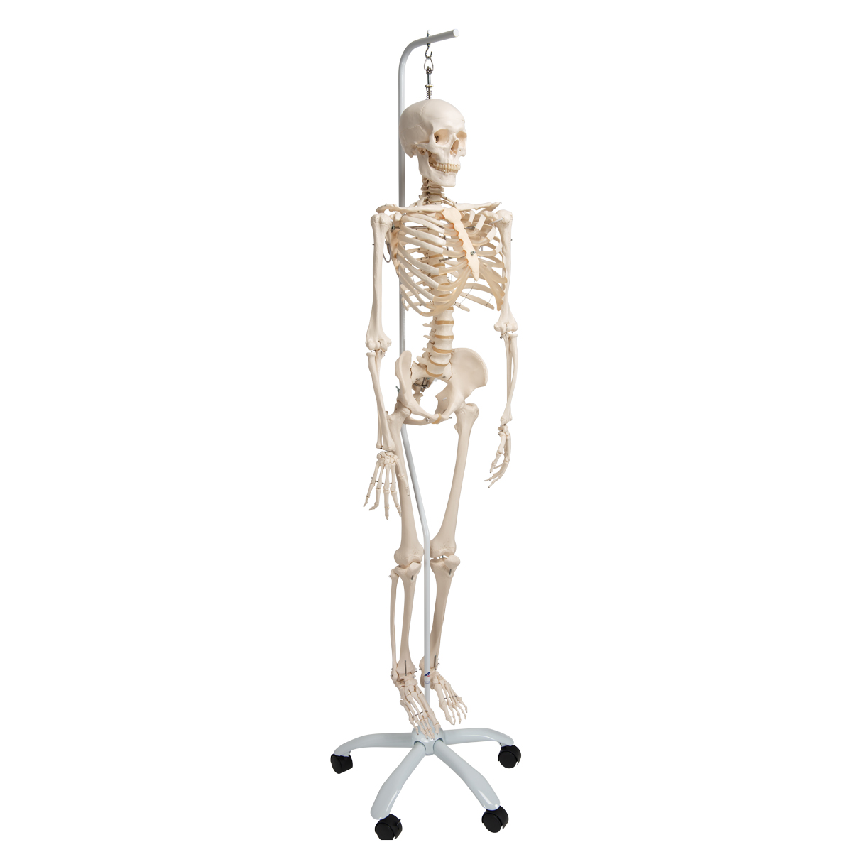 Flexible Skeleton | Flexible Human Skeleton Model Phil ...