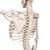 Physiological Human Skeleton Model Phil on Hanging Stand - 3B Smart Anatomy, 1020179 [A15/3], Skeleton Models - Life size (Small)