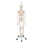 Functional Physiological Skeleton Model - Frank - Hanging Stand,A15/3S