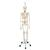 Functional & Physiological Human Skeleton Model Frank on Hanging Stand - 3B Smart Anatomy, 1020180 [A15/3S], Skeleton Models - Life size (Small)