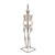 Mini Human Skeleton Model Shorty on Hanging Stand, Half Natural Size - 3B Smart Anatomy, 1000040 [A18/1], Mini Skeleton Models (Small)