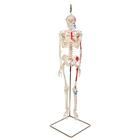 Mini Human Skeleton - Shorty - with painted muscles, on hanging stand, 1000045 [A18/6], Mini Skeleton Models
