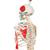 Mini Human Skeleton Shorty with Painted Muscles on Hanging Stand, Half Natural Size - 3B Smart Anatomy, 1000045 [A18/6], Mini Skeleton Models (Small)