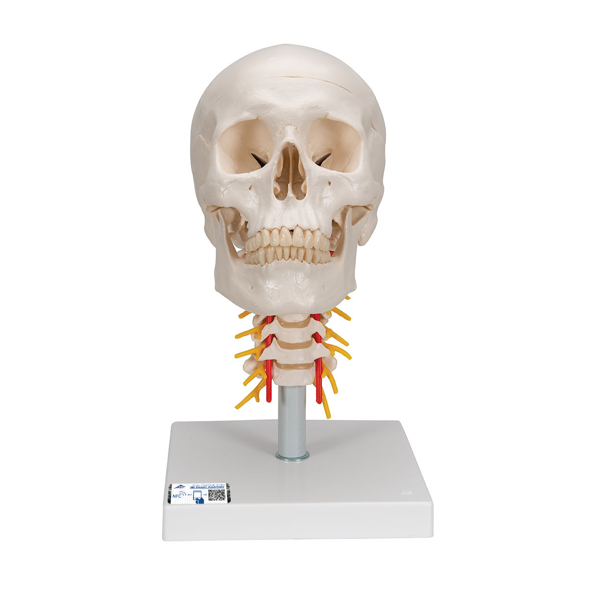 Human Skull Model | Plastic Skull Model | Human Skull Model on ...