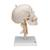 Human Skull Model on Cervical Spine, 4 part - 3B Smart Anatomy, 1020160 [A20/1], Human Skull Models (Small)