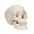 Classic Human Skull Model with 8 part Brain - 3B Smart Anatomy, 1020162 [A20/9], Human Skull Models (Small)