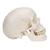 Classic Human Skull Model with Brain, 8-part, 1020162 [A20/9], Human Skull Models (Small)