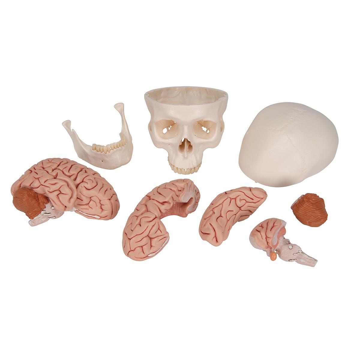 Human Skull Model | Plastic Skull Model | Classic Skull Model with Brain
