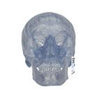 Transparent Classic Human Skull Model, 3 part, 1020164 [A20/T], Human Skull Models