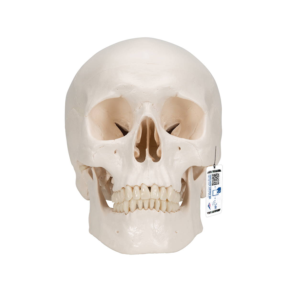 Human Skull Model | Plastic Skull Model | Classic Human Skull Model