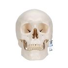 Classic Human Skull Model, 3 part - 3B Smart Anatomy, 1020159 [A20], Human Skull Models