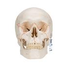 Numbered Human Classic Skull Model, 3 part,A21