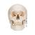Numbered Human Classic Skull Model, 3 part - 3B Smart Anatomy, 1020165 [A21], Human Skull Models (Small)