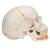 Classic Human Skull Model painted, with Opened Lower Jaw, 3 part - 3B Smart Anatomy, 1020167 [A22/1], Human Skull Models (Small)