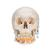 Classic Human Skull Model, with Opened Lower Jaw, 3 part, 1020166 [A22], Human Skull Models (Small)