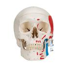 Classic Human Skull Model, painted, 3 part, 1020168 [A23], Human Skull Models