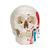 Classic Human Skull Model, painted, 3 part, 1020168 [A23], Human Skull Models (Small)