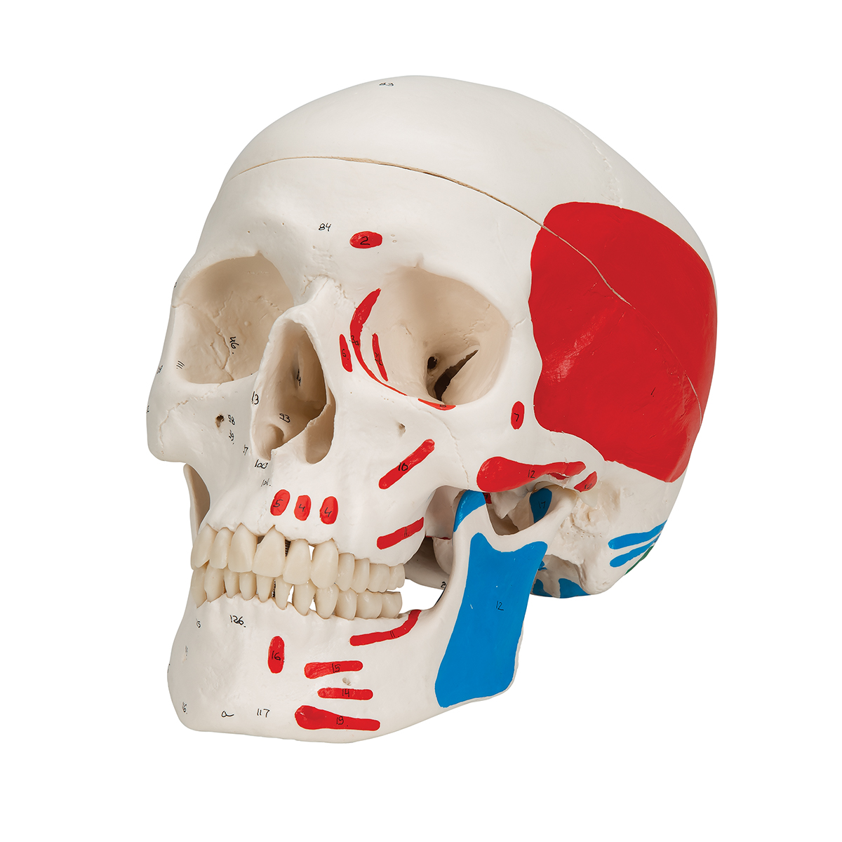 FGA Educational Model Painted Human Skull Model Anatomy Lab Human Skull Model PVC Environmentally Friendly Material Anatomical Model with Base