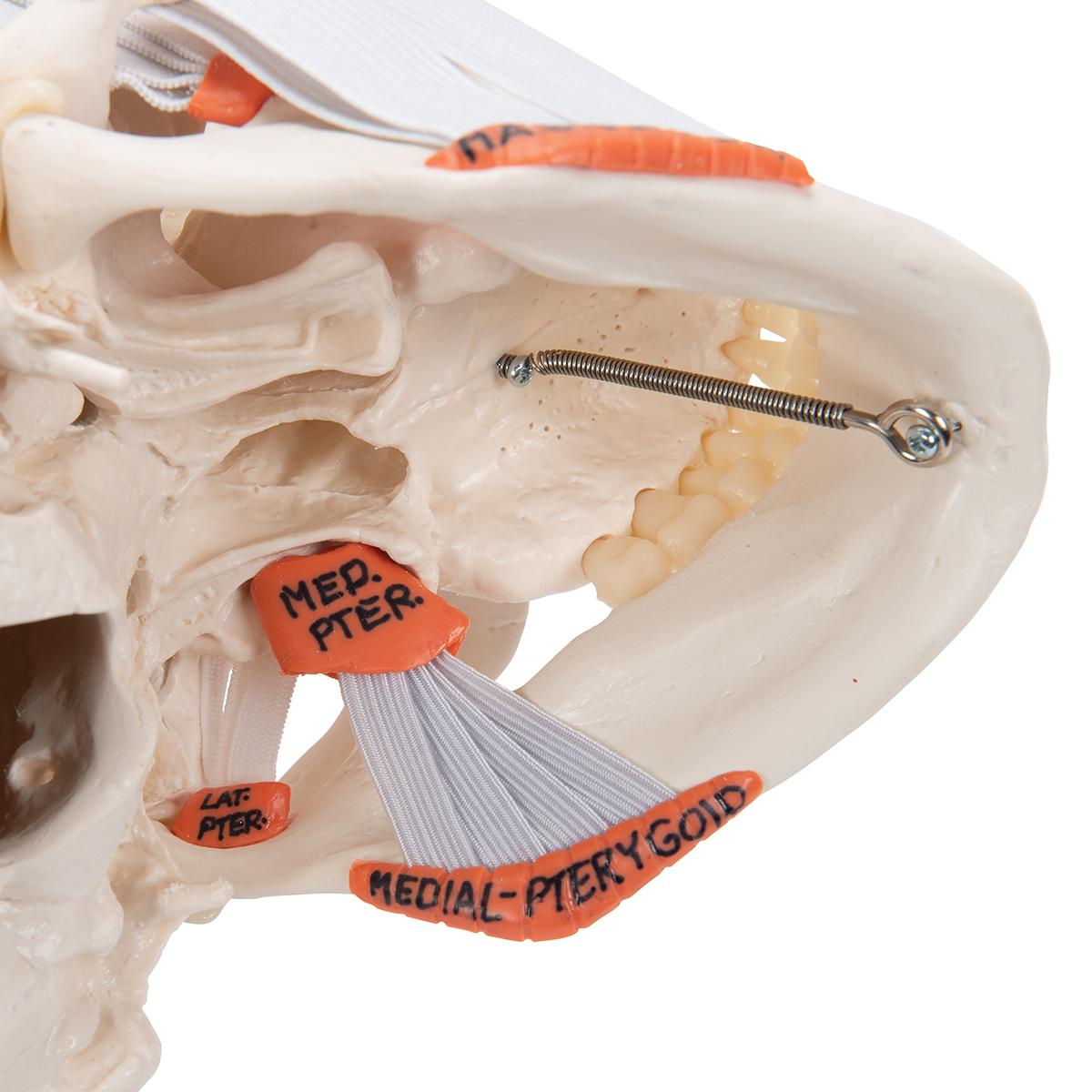 Anatomical Teaching Model Human Skull Model Plastic Skull