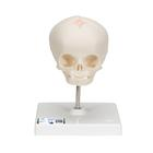 Foetal Skull Model, natural cast, 30th week of pregnancy, on stand, 1000058 [A26], Human Skull Models