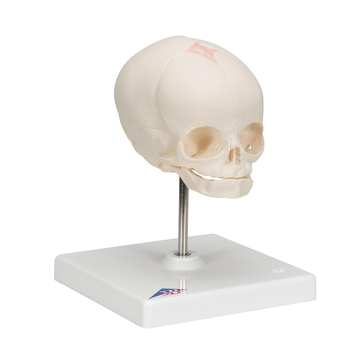 Anatomical Teaching Model - Human Skull Model - Plastic Skull Model ...