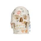 Deluxe Human Demonstration Dental Skull Model, 10 part,A27