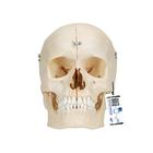 BONElike™ Human Bony Skull Model, 6 part - 3B Smart Anatomy, 1000062 [A281], Human Skull Models