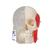 BONElike™ Human Skull Model, Half Transparent & Half Bony, 8 part - 3B Smart Anatomy, 1000063 [A282], Human Skull Models (Small)