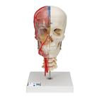 BONElike™ Human Skull Model, Half Transparent & Half Bony, Complete with Brain & Vertebrae - 3B Smart Anatomy, 1000064 [A283], Human Spine Models