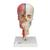 BONElike™ Human Skull Model, Half Transparent & Half Bony, Complete with Brain & Vertebrae - 3B Smart Anatomy, 1000064 [A283], Vertebra Models (Small)