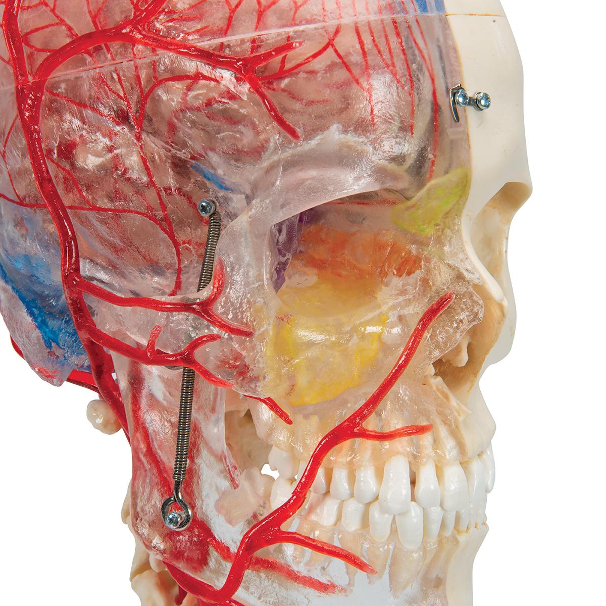 Human Skull Model - Plastic Skull Model - Realistic BONElike Human ...