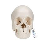 Beauchene Adult Human Skull Model, Bone Colored Version, 22 part - 3B Smart Anatomy, 1000068 [A290], Human Skull Models