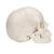Beauchene Adult Human Skull Model - Bone Colored Version, 22 part, 1000068 [A290], Human Skull Models (Small)