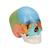Beauchene Adult Human Skull Model - Didactic Colored Version, 22 part, 1000069 [A291], Human Skull Models (Small)