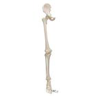 Human Leg Skeleton Model with Hip Bone - 3B Smart Anatomy, 1019366 [A36], Leg and Foot Skeleton Models