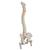 Classic Flexible Human Spine Model with Femur Heads - 3B Smart Anatomy, 1000122 [A58/2], Human Spine Models (Small)