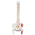 Classic Human Flexible Spine Model with Femur Heads & Painted Muscles - 3B Smart Anatomy, 1000123 [A58/3], Human Spine Models